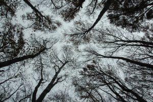 Baumkronen von unten fotografiert.